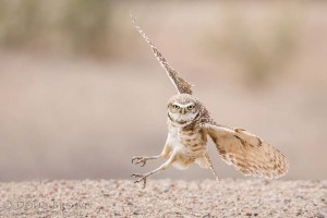 Burrowing Owl. Image by Doug Brown.