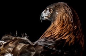 Golden Eagle. Image by Larry Rimer